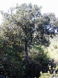 Starr 030210-0004 Pouteria sandwicensis