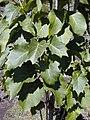 Starr 030222-0050 Nothocestrum latifolium.jpg