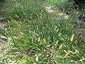 Starr 030729-0115 Setaria parviflora.jpg