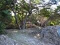 Starr 031115-0003 Prosopis pallida.jpg