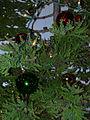 Starr 031207-0012 Cryptomeria japonica.jpg