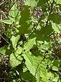 Starr 040330-0409 Solanum americanum.jpg