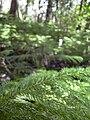 Starr 040812-0076 Araucaria columnaris.jpg