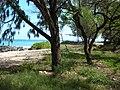 Starr 050414-6341 Casuarina equisetifolia.jpg