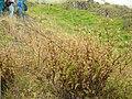 Starr 050423-6726 Ageratina riparia.jpg