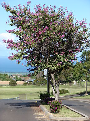 Description de l'image Starr 061206-1969 Bauhinia x blakeana.jpg.