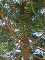 Starr 070207-4302 Araucaria columnaris.jpg