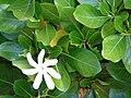 Starr 070221-4642 Gardenia sp..jpg
