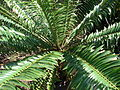 Starr 070306-5124 Encephalartos sp..jpg