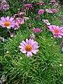 Starr 070906-8415 Argyranthemum frutescens.jpg