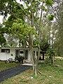 Starr 080607-7151 Ficus benjamina.jpg