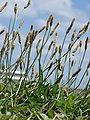 Starr 080609-7960 Plantago lanceolata.jpg