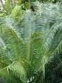 Starr 080610-8107 Cycas circinalis.jpg