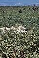 Starr 990614-0880 Solanum nelsonii.jpg