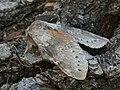 Stauropus fagi - Lobster moth - Вилохвост буковый (26265545657).jpg