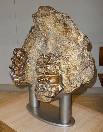 Stegolophodon - Stegolophodon cautleyi