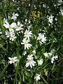 Stellaria holostea sl4.jpg