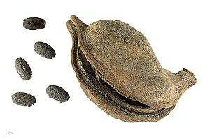 Sterculia foetida - Follicle and seeds of Sterculia foetida - MHNT