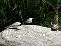 Sternes pierregarin Argelès-Gazost parc animalier.JPG