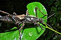 Stick Insect (Haaniella sp.) (8411677240).jpg