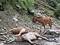 Stranded mules during the Uttarakhand Floods of 2013 as encountered by People for Animals during a rescue operation.jpg