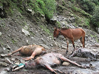 Mules during 2013 North India floods