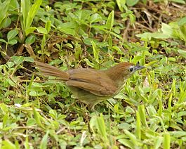 Striped tit babbler (Macronous gularis) - 3.jpg