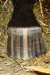 A brown and white striped horse hoof, with a dark colored leg partially visible