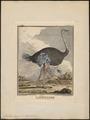 Struthio camelus - 1700-1880 - Print - Iconographia Zoologica - Special Collections University of Amsterdam - UBA01 IZ18900021.tif