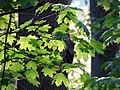 Sugar Maple Leaves in Spring - Flickr - treegrow.jpg