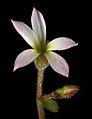 Suksdorfia violacea 8.jpg