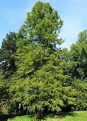 Sumpfzypresse (Taxodium distichum).jpg