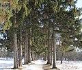 Sumy-239.Декоротивный парк из хвойных деревьев..jpg