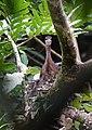 Sun Bittern on nest (26869688108).jpg