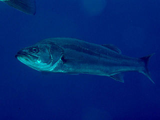 Japanese sea bass Species of fish