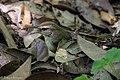 Swainson's Warbler Hooks Wood High Island TX 2018-04-11 09-55-36 (41092379464).jpg