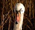 Swan head-on.JPG