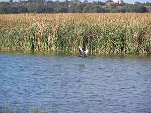 Herdsman Lake - Black swan in flight Herdsman Lake