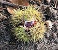 Sweet chestnut (fruit) - geograph.org.uk - 1532741.jpg