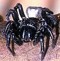 Sydney funnel web spider.jpg