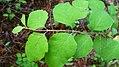 Symphoricarpos albus leaves.jpg