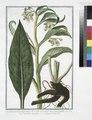 Symphytum, Consolida major, flore albo, vel pallide luteo, quaæ foemina - Consolida maggiore - Grande Consoude. (Common Comfrey) (NYPL b14444147-1125060).tiff
