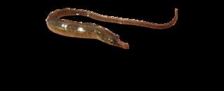 River pipefish species of fish