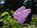 Syringa vulgaris Hugo de Vries 2016-05-20 0931.jpg