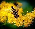 Syrphidae sp. (9483252411).jpg