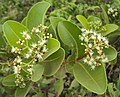 Syzygium caryophyllatum 09.JPG