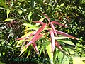 Syzygium jambos-young leaves.jpg