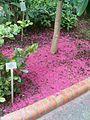 Syzygium malaccense BotGardBln07122011T.JPG