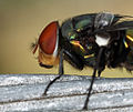 Tachinid fly (8403090677).jpg