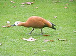 Tadorna ferruginea (Ruddy Shelduck).jpg